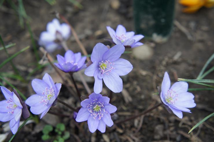 Дриада цветок