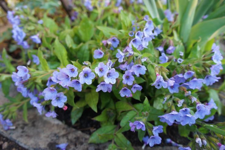Первые весенние цветы в моём саду фото