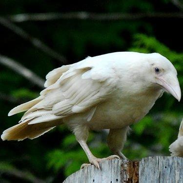 Белая ворона скачать бесплатно торрент