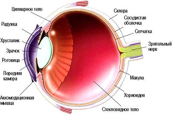 глазного яблока клетчатку.