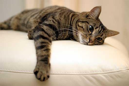 Серый дворовый кот