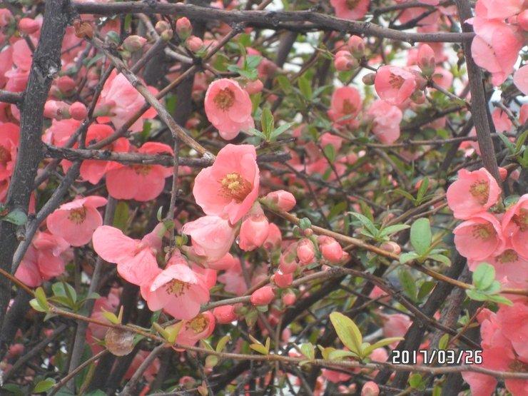 Весна декоративный кустарник японская айва уход