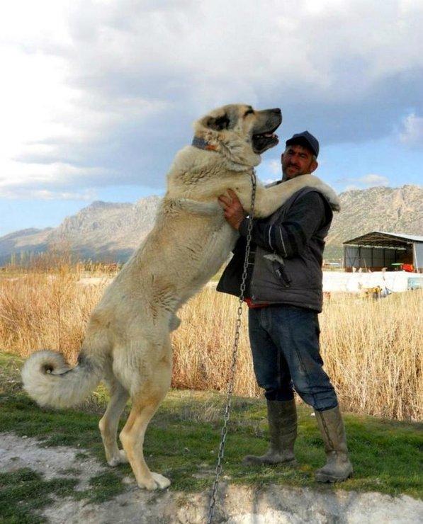 Приотарные пастушьи и охранные собаки, их воспитание, дрессировка и содержание