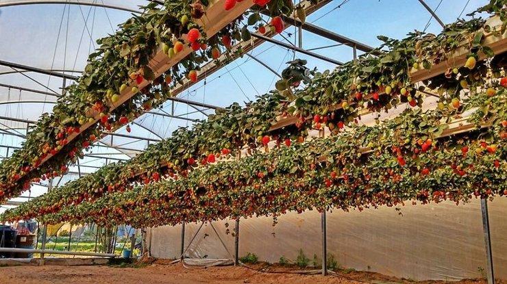 Выращивание клубники в новой зеландии 37