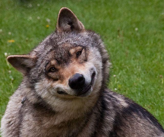 картинки смешные волки